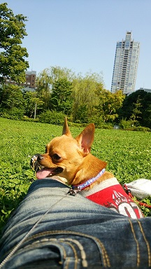 愛犬チワワのチョロ