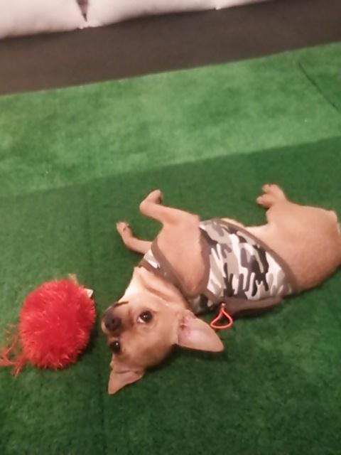 ゴルフ部屋の愛犬チワワ